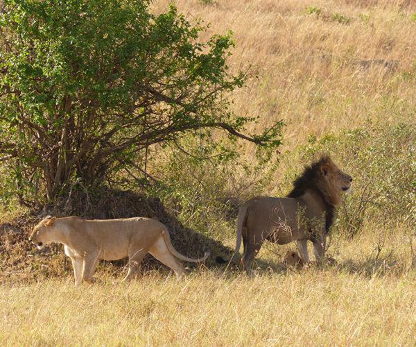 Masai Mara Kenya BARAKA SAFARI
