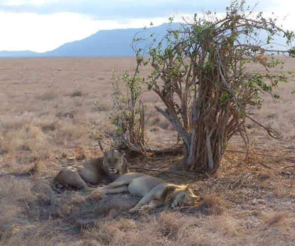 Safari Kenya TSAVO EST BARAKA SAFARI