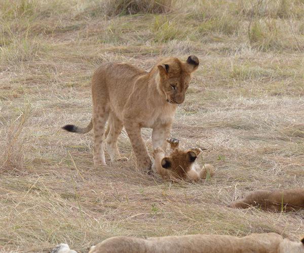 Safari Masai Mara Da Watamu BARAKA SAFARI KENYA