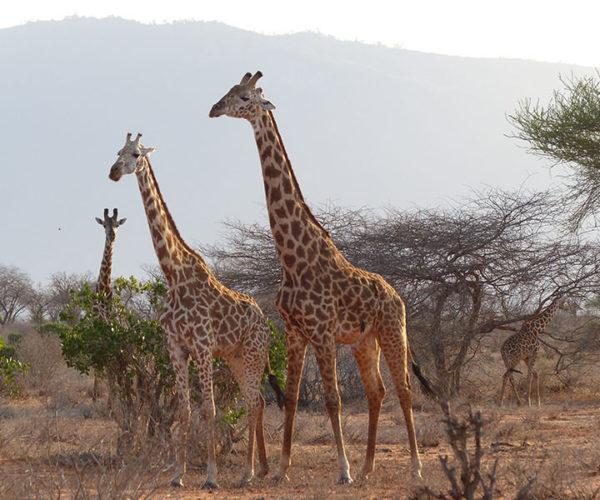 Safari Tsavo Est E Ovest BARAKA