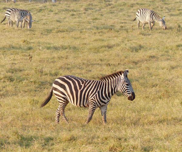 Safari Kenya AMBOSELI Zebra