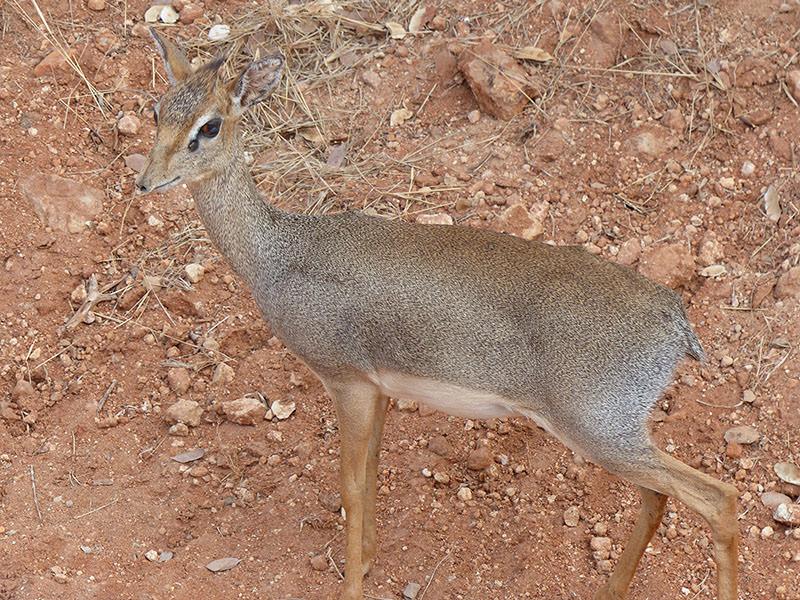 Safari Kenya Tsavo Est Baraka
