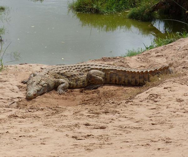 Safari Kenya Tsavo Est Coccodrillo
