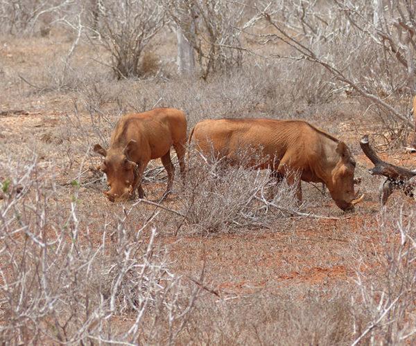 Safari Kenya Tsavo Est Facocero