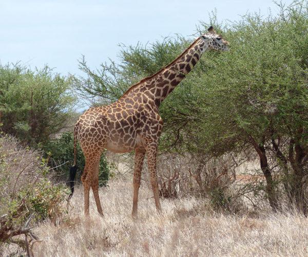 Safari Kenya Tsavo Est Giraffa