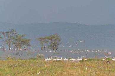 Fenicotteri Rosa - Nakuru Lake