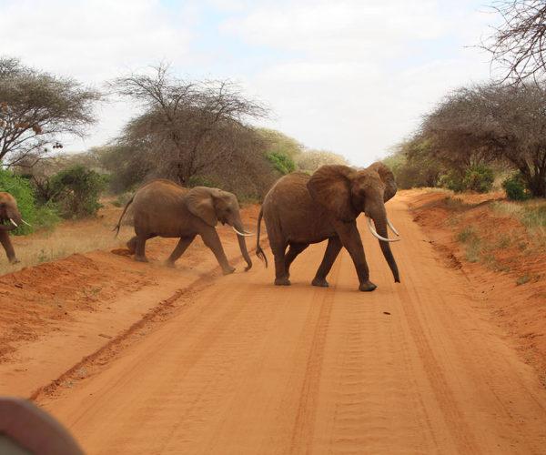 Elefanti attraversano la strada a Tsavo Est