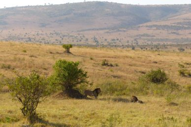 Leoni maschi Masai Mara