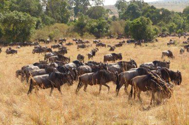 Migrazione degli Gnu Masai Mara