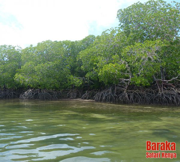 escursione-isola-mangrovie-barakasafarikenya-34