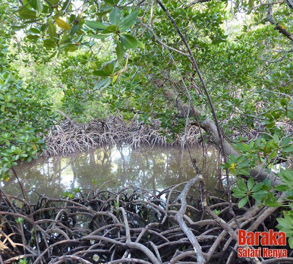 escursione-watamu-mida-creek-barakasafarikenya-13