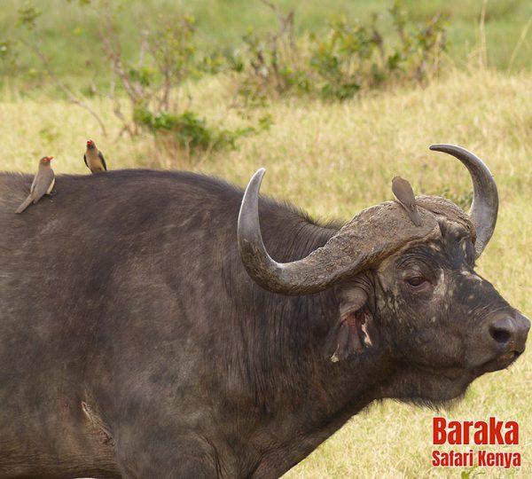 safari-kenya-barakasafarikenya-62