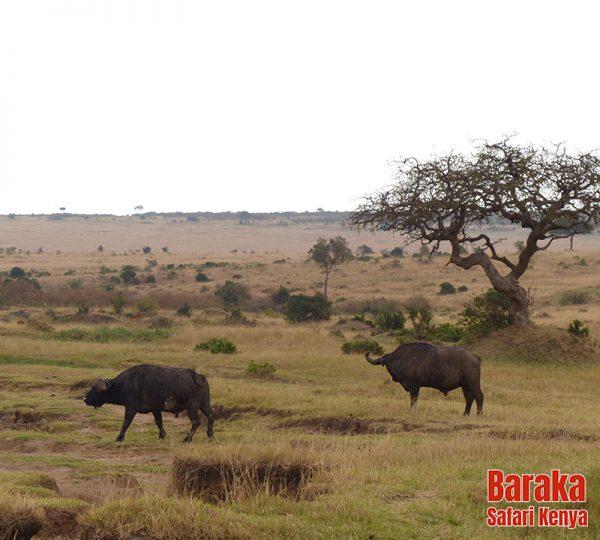safari-masai-mara-barakasafarikenya-1
