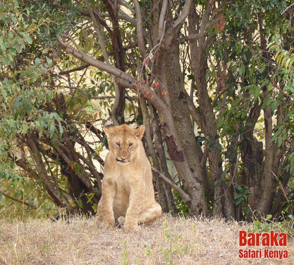 safari-masai-mara-barakasafarikenya-11