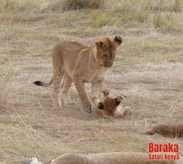 safari-masai-mara-barakasafarikenya-12