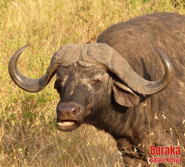 safari-masai-mara-barakasafarikenya-13