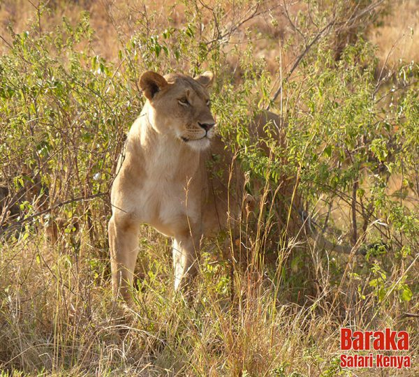 safari-masai-mara-barakasafarikenya-17