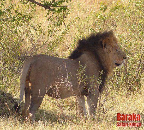 safari-masai-mara-barakasafarikenya-22