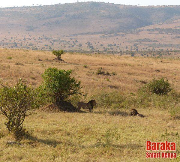 safari-masai-mara-barakasafarikenya-23