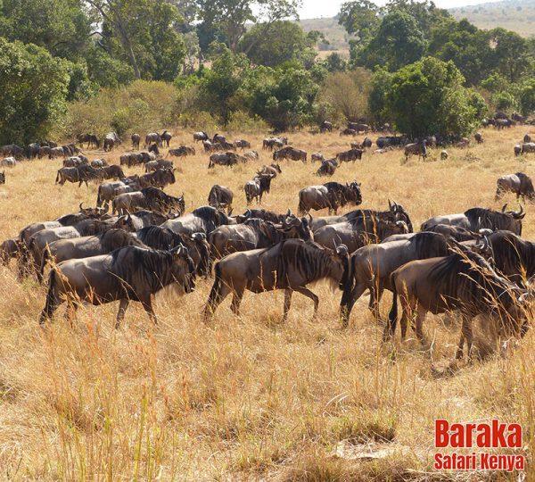 safari-masai-mara-barakasafarikenya-24