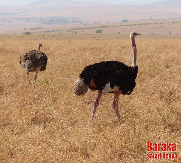 safari-masai-mara-barakasafarikenya-25