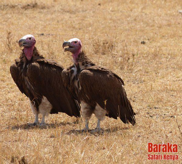 safari-masai-mara-barakasafarikenya-27
