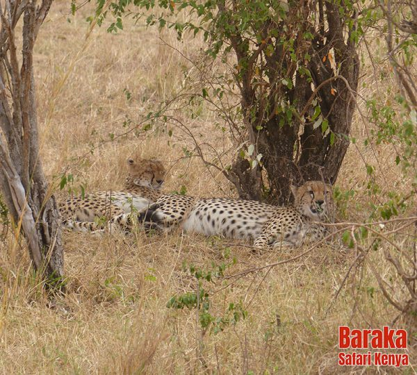 safari-masai-mara-barakasafarikenya-31