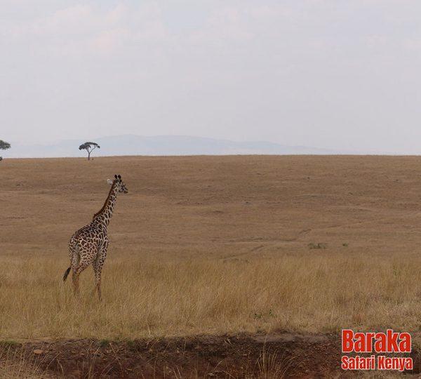 safari-masai-mara-barakasafarikenya-32