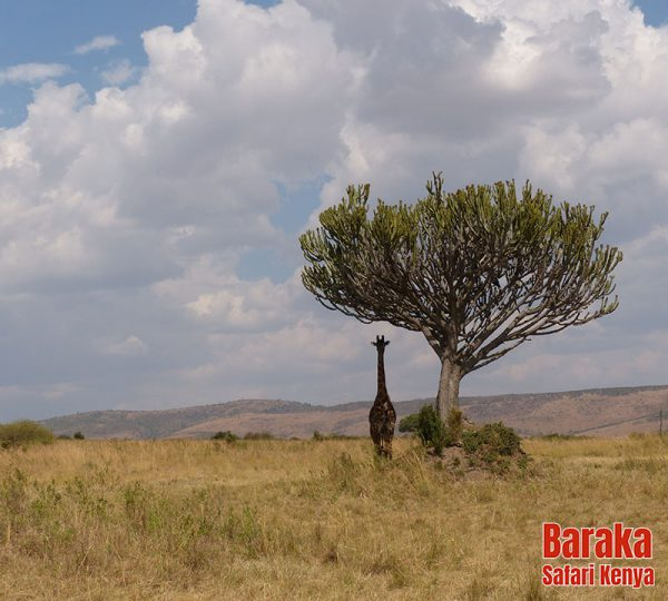 safari-masai-mara-barakasafarikenya-33