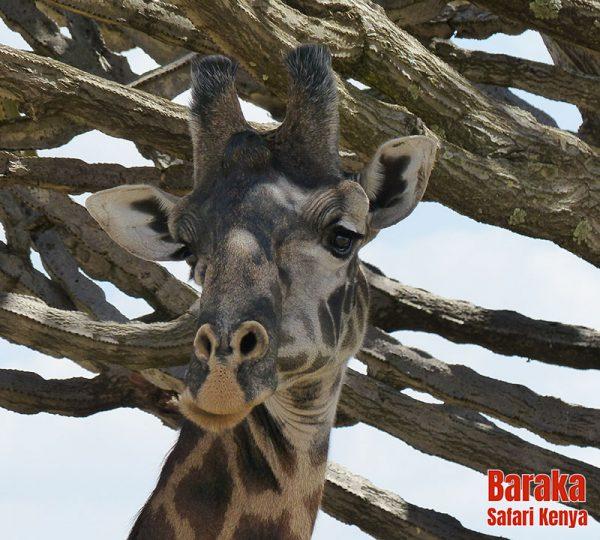 safari-masai-mara-barakasafarikenya-34