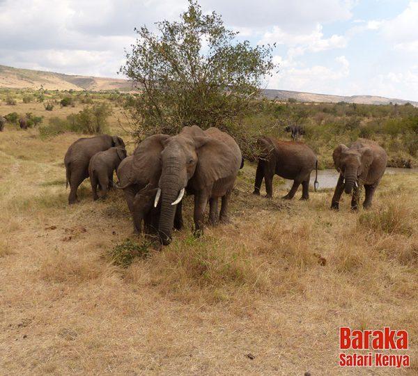 safari-masai-mara-barakasafarikenya-36