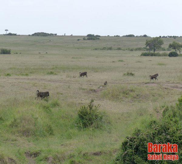 safari-masai-mara-barakasafarikenya-38