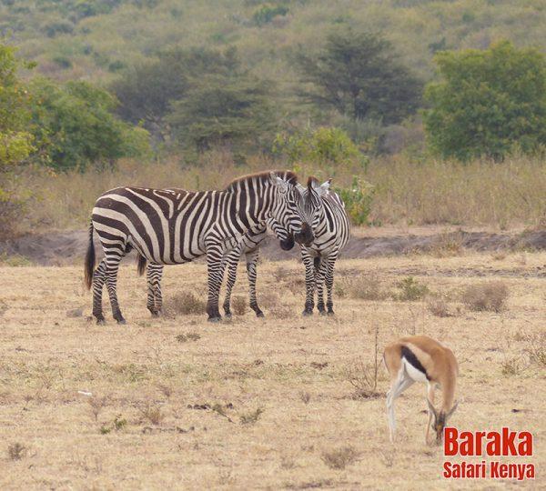 safari-masai-mara-barakasafarikenya-4