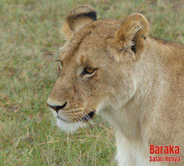 safari-masai-mara-barakasafarikenya-42