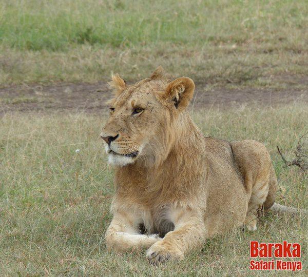 safari-masai-mara-barakasafarikenya-43