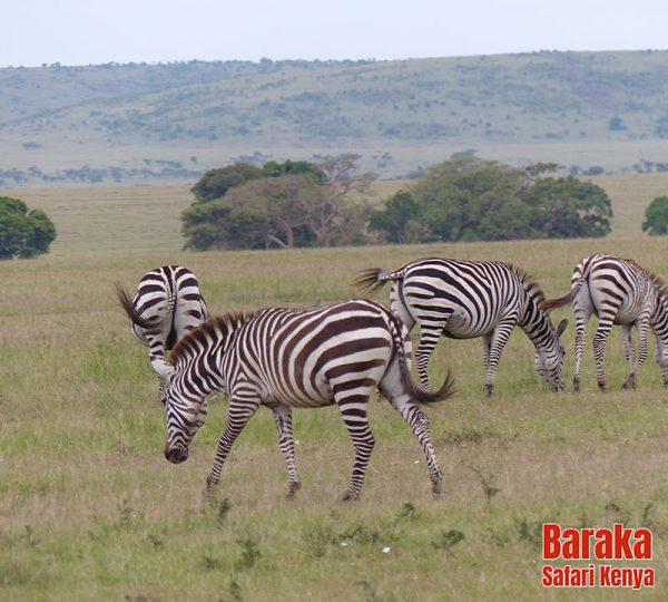 safari-masai-mara-barakasafarikenya-44
