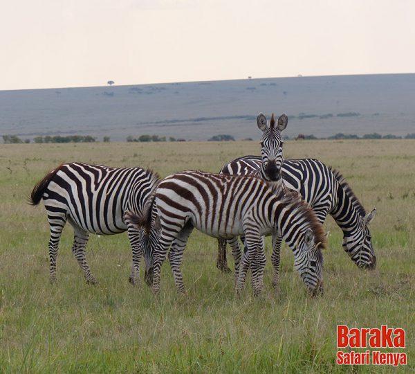safari-masai-mara-barakasafarikenya-45