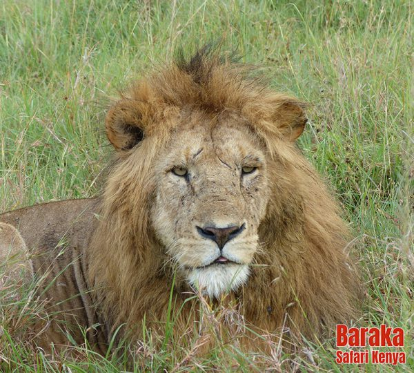 safari-masai-mara-barakasafarikenya-47