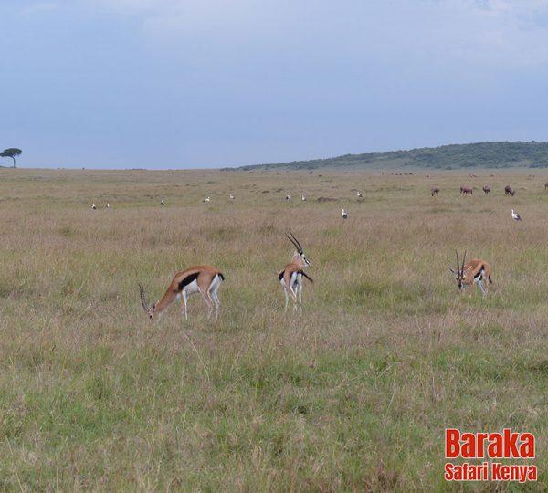 safari-masai-mara-barakasafarikenya-48