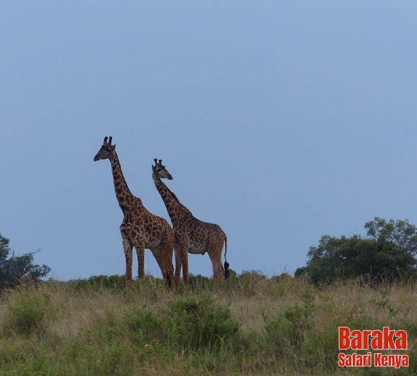 safari-masai-mara-barakasafarikenya-51