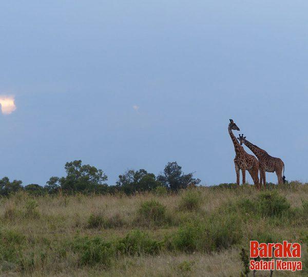 safari-masai-mara-barakasafarikenya-52