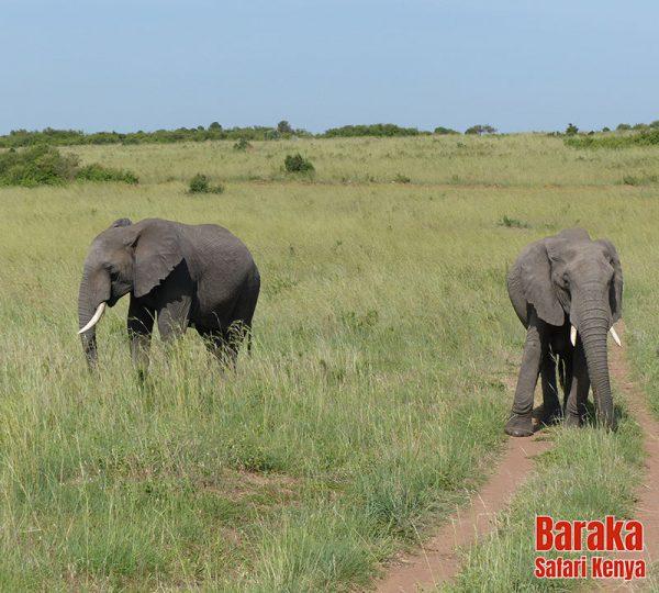 safari-masai-mara-barakasafarikenya-55