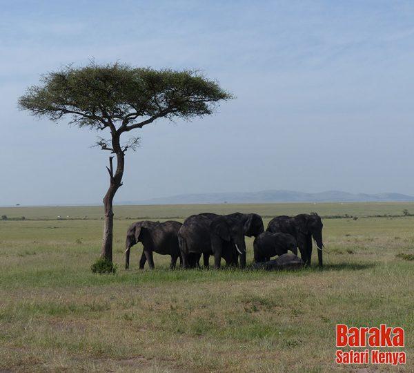 safari-masai-mara-barakasafarikenya-56