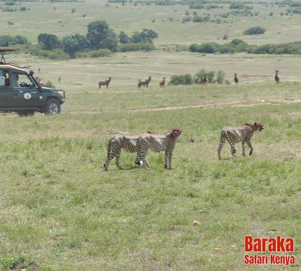 safari-masai-mara-barakasafarikenya-58