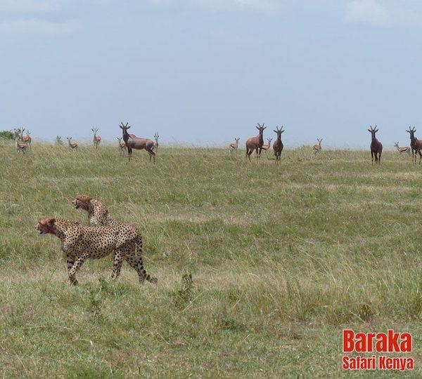 safari-masai-mara-barakasafarikenya-59