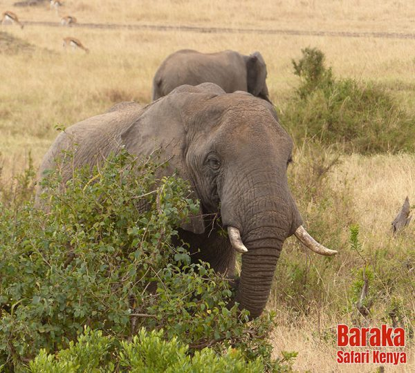 safari-masai-mara-barakasafarikenya-6