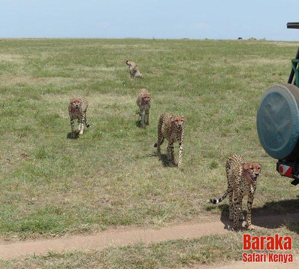 safari-masai-mara-barakasafarikenya-60