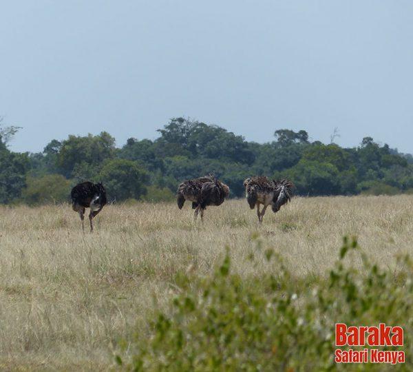 safari-masai-mara-barakasafarikenya-62