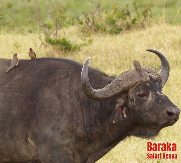 safari-masai-mara-barakasafarikenya-7