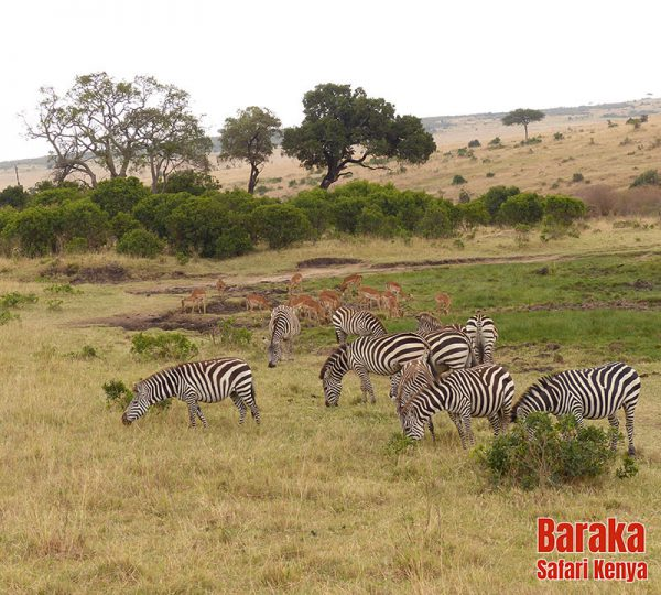 safari-masai-mara-barakasafarikenya-8